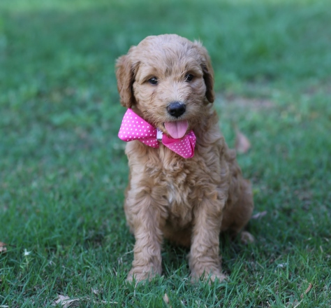 Should I Buy a Goldendoodle